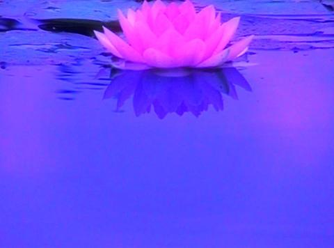 Lotus C Water Drops and Ripples 2 Loop Stock Video Footage
