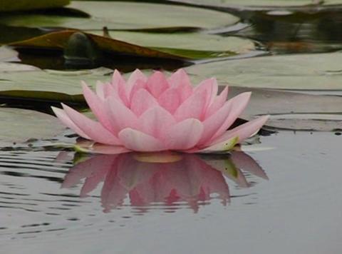 Lotus D Water Drops and Ripples 1 Loop Footage
