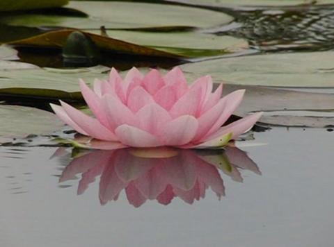 Lotus D Water Drops and Ripples 1 Loop Stock Video Footage