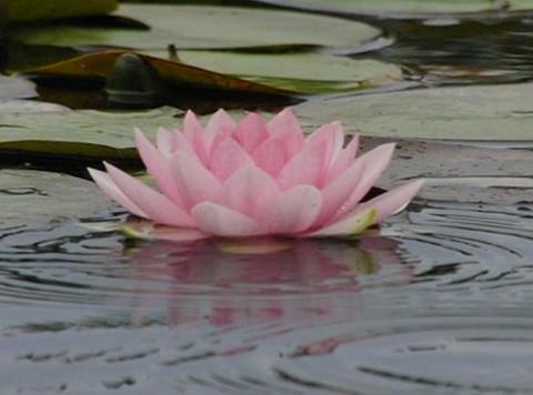 Lotus D Water Drops and Ripples 3 Loop Footage