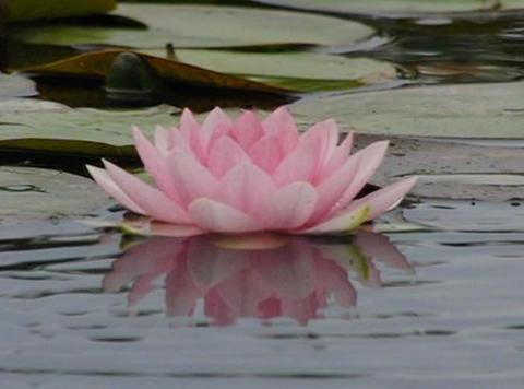 Lotus D Water Drops and Ripples 3 Loop Stock Video Footage