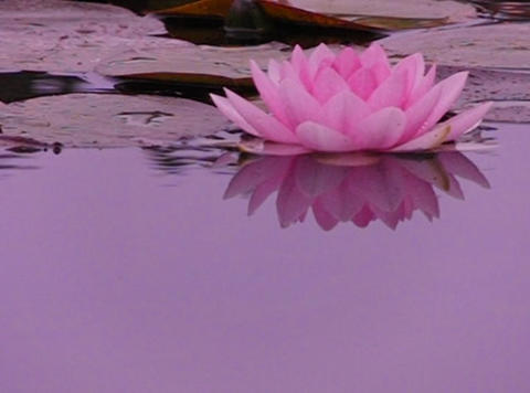 Lotus E Reflections on Water Loop Stock Video Footage