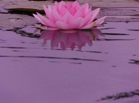 Lotus E Rippled Reflections 2 Loop Stock Video Footage