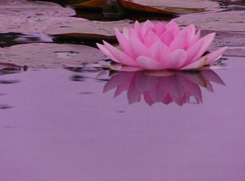 Lotus E Water Drops and Ripples 2 Loop Stock Video Footage