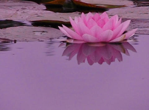 Lotus E Water Drops and Ripples 4 Loop Stock Video Footage
