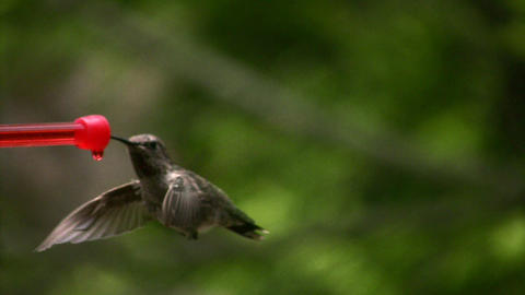 Hummingbird 1 Fly In And Out Loop stock footage