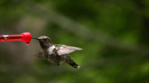 Hummingbird 1 Fly in and out Loop Stock Video Footage