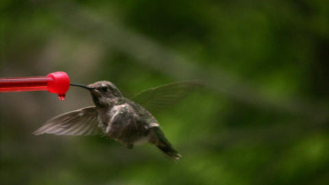 Hummingbird 3 Fly away Slow motion 10per Stock Video Footage
