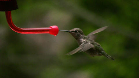 Hummingbird 5 Fly in and out Loop Stock Video Footage