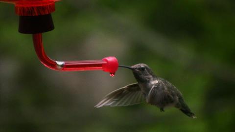 Hummingbird 7 Fly away Stock Video Footage
