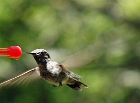 Humming Bird 10 Fly away 210fps Footage