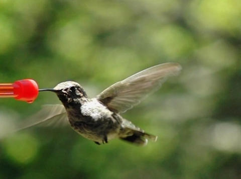 Humming Bird 10 Fly away 210fps Stock Video Footage