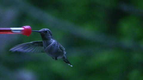 Humming bird flying off after drinking Stock Video Footage