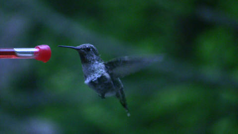 Humming bird flying off after drinking Footage