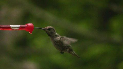 Humming bird flying off Stock Video Footage
