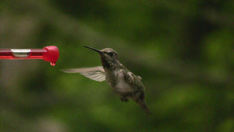 Humming bird flying off Stock Video Footage