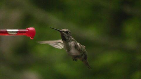 Humming bird flying off Footage