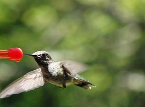 Humming bird flapping wings while sipping all the way Footage