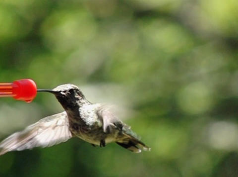 Humming bird flapping wings while sipping all the way Stock Video Footage