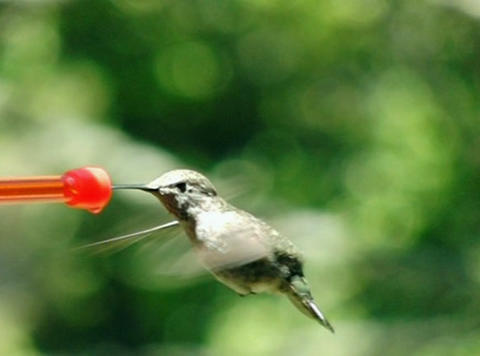 Humming bird sipping non-stop Footage