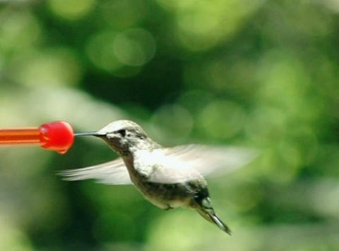 Humming bird sipping non-stop Stock Video Footage