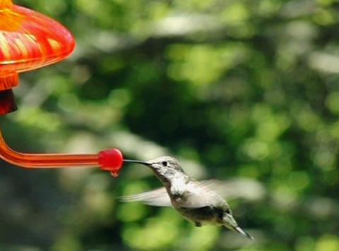 Thirsty small humming bird Stock Video Footage