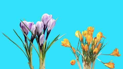 Growth of crocuses flower buds ALPHA matte (Crocus) (Time... Stock Video Footage