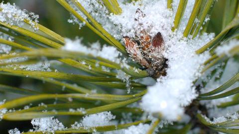 Fir needles under snowflakes, macro Archivo