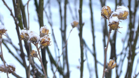 Dried flower in the snow Footage
