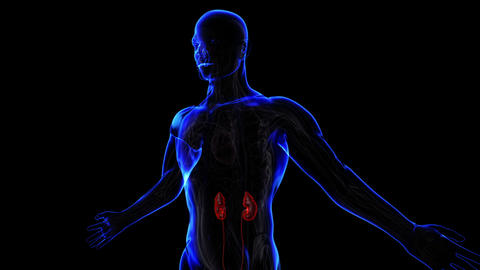 Urinary System stock footage
