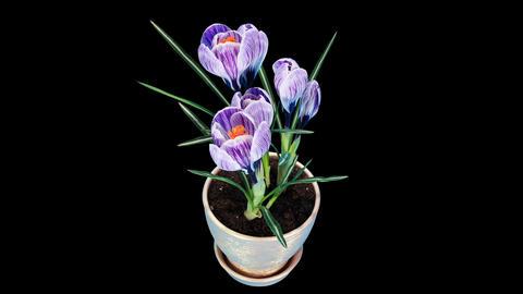 Growth of violet crocuses flower buds ALPHA matte (Crocus... Stock Video Footage