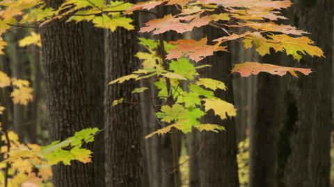 maple in shady forest Stock Video Footage