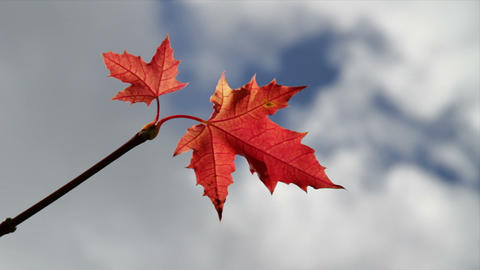 red maple Stock Video Footage