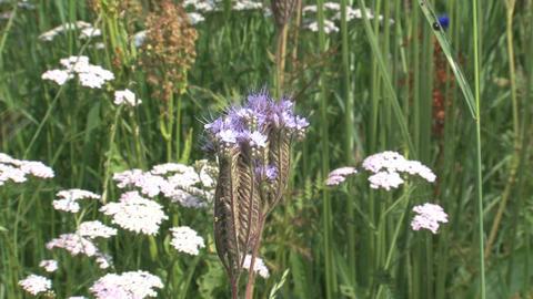 Humming bee around flower Stock Video Footage