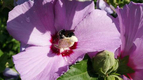 Bumblebee Hibiscus Sunrise Footage