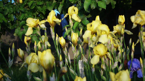 Close Up Of Yellow Iris Flowers Footage