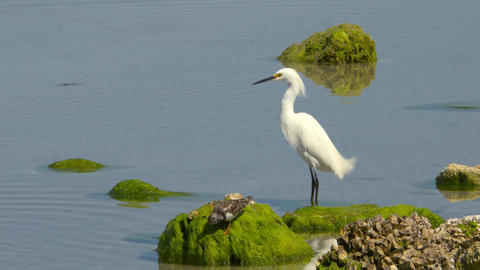 Snowy Egret and Sandpiper Standing on Algae-Covered Rocks,4K Footage