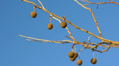 Group of Sycamore Seed Balls on Barren Branch Against Blue Sky, 4K Footage