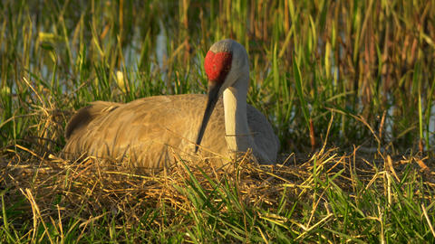 Female Sandhill Crane Patiently Sits in Nest Waiting for Eggs to Hatch, 4K Footage
