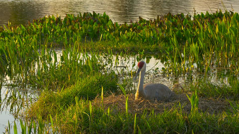 Sandhill Crane Sitting in Nest at Sunset Beauty Shot, 4K Footage