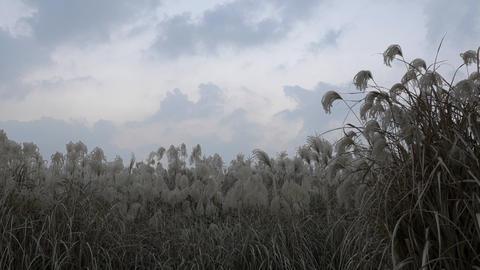 silver grass Footage