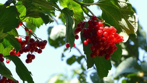 Red Viburnum Garden Footage