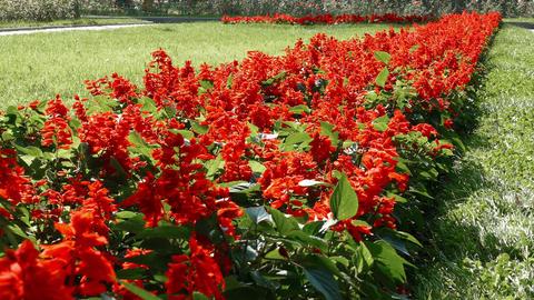 Red Flowers Flowerbed Background 4K Footage