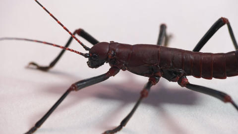5 Studio Shot Of Stick Insect Body Close-up Live Action