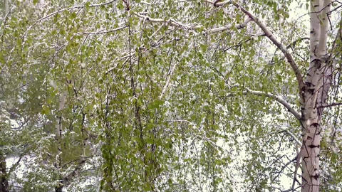 Birches with green leaves under a snowfall Live Action