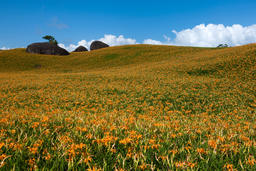 lily of Chike mountain,Hualian,Taiwan 相片