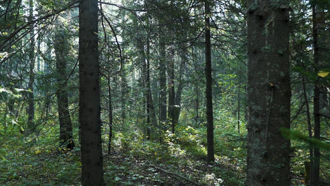 Summer Fairy Forest, Tree Trunks, Sun Rays Breaking Through the Trees. Forest Live Action