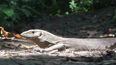 Lizard in the sun Stock Video Footage