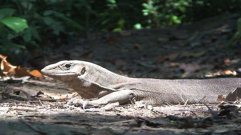 Lizard in the sun Stock Video Footage