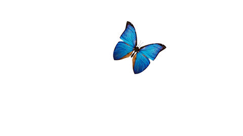 blue butterflies isolated on white background Stock Video Footage